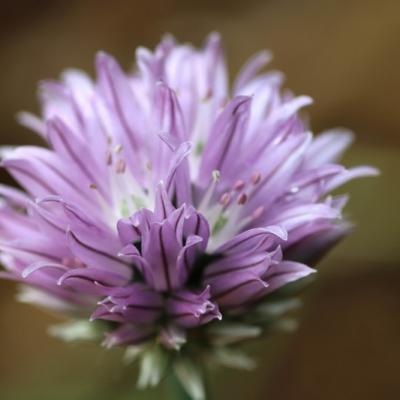 Ciboulette (Allium schoenoprasum)