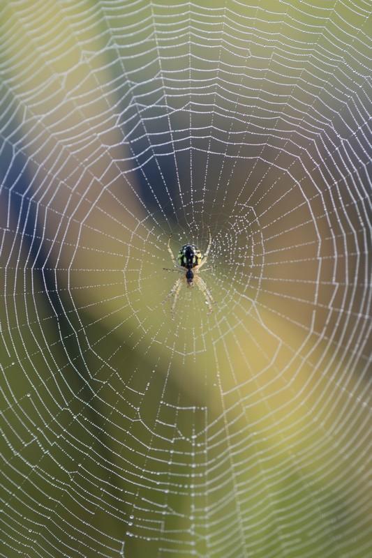Araignée napoléon Arachnidae
