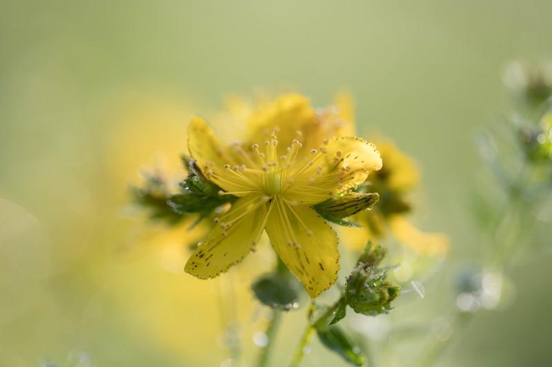 Millepertuis commun (hypericum perforatum)
