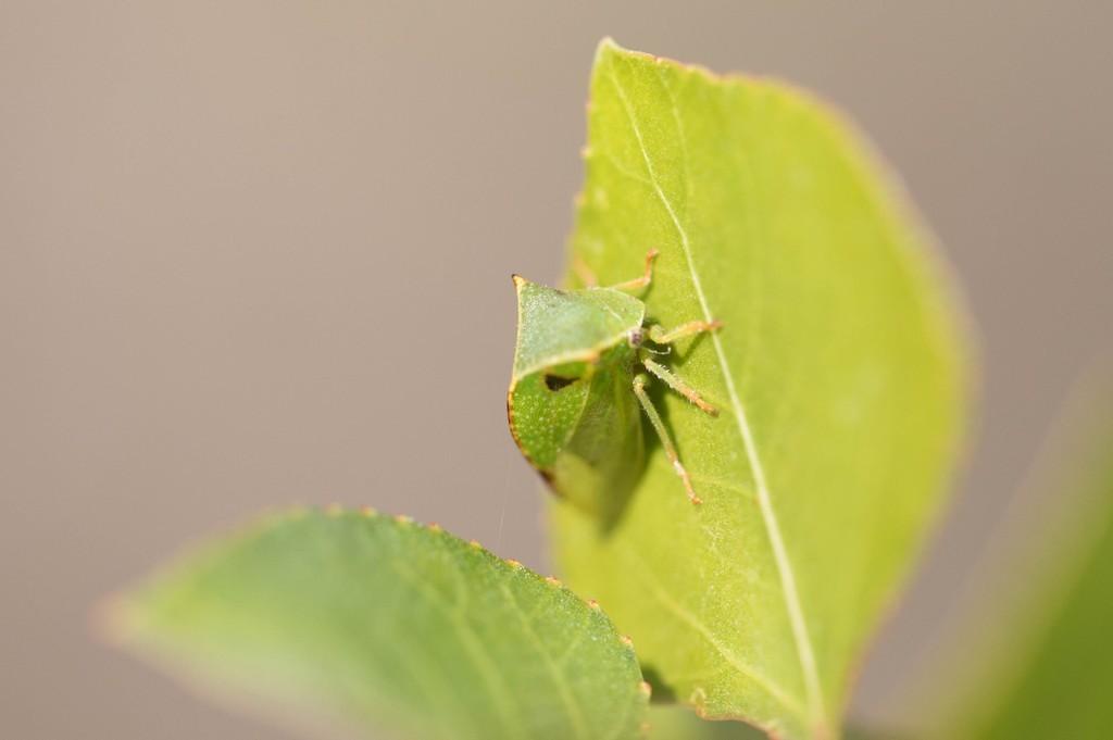 Cicadelle Bison (Stictocephala bisonia)