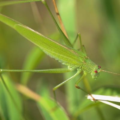 Phanéroptère commun ( Phaneroptera  Falcata)