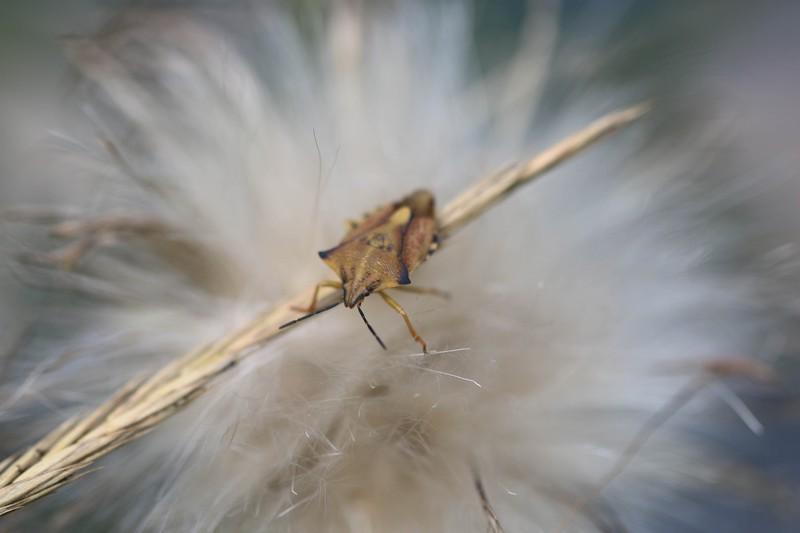 Punaise des baies ( Dolycoris baccarum)