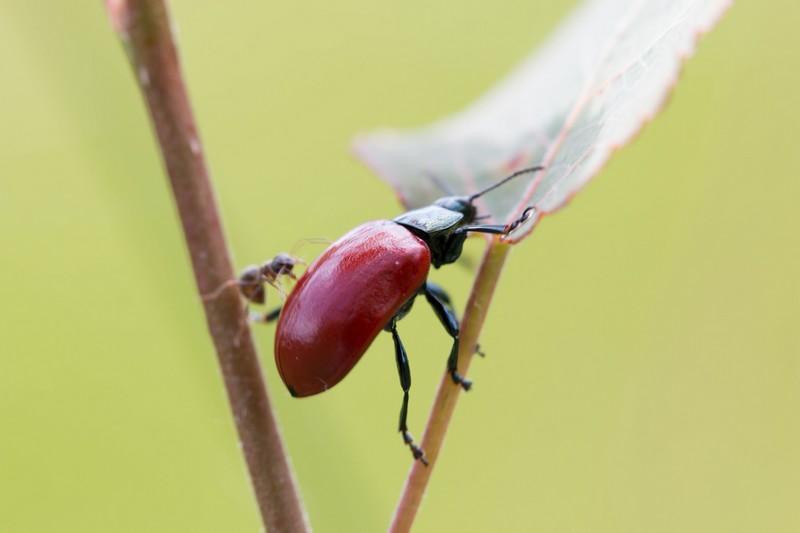 Chrysomèle du peuplier (Chrysomela populi)