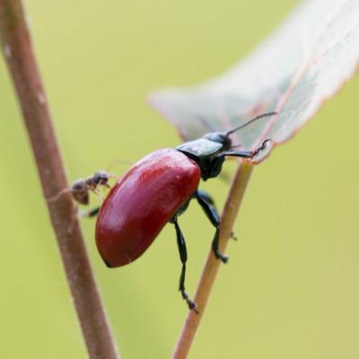 IMG_5856-2   Chrysomèle du peuplier + fourmi(Chrysomèles)