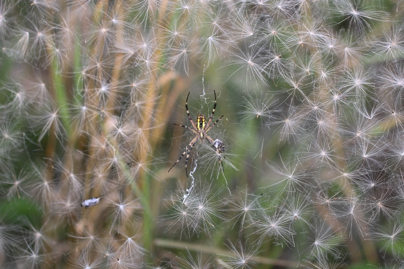 Epeire fasciée (Arachnidae)