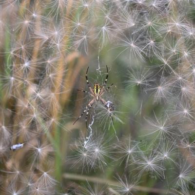 IMG_5999 Epeire fasciée (Arachnidae)