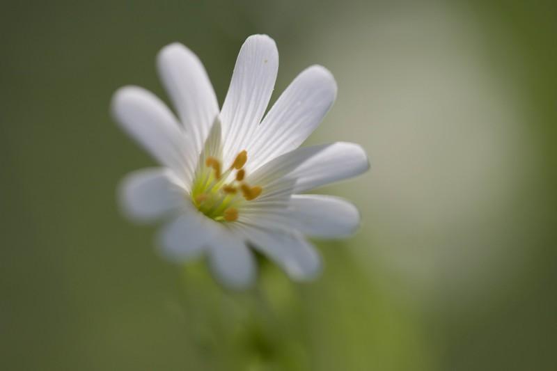 Stellaire holostée (Stellaria holostea)