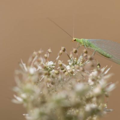 IMG_6370 Chryspope verte où demoiselle aux yeux d'or  (Névroptères)