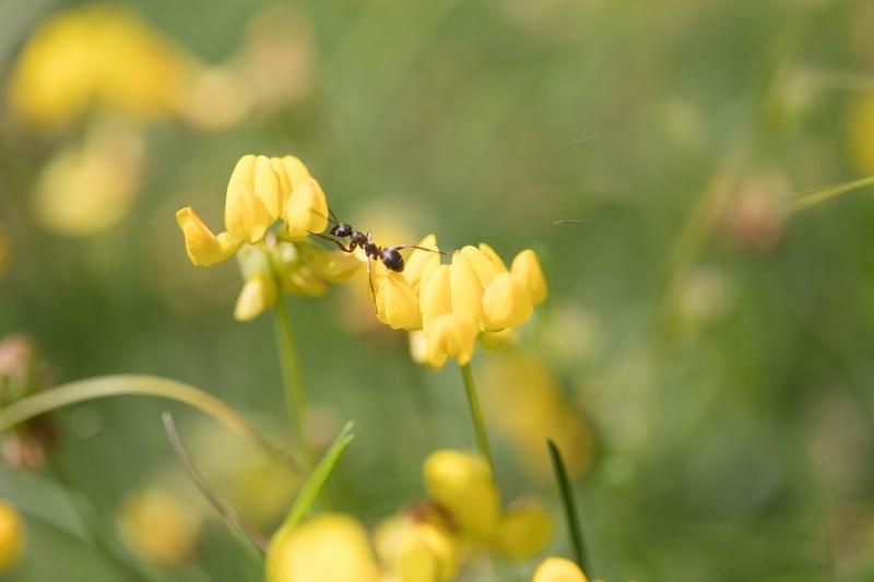 Fourmi (Formicidae)