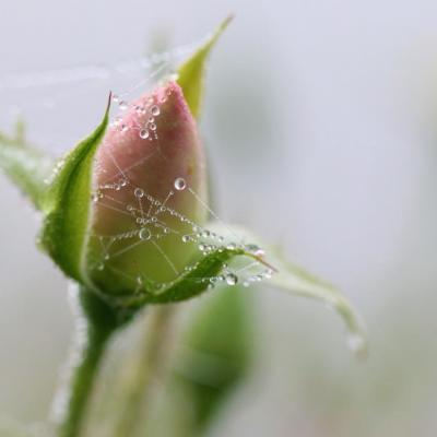 Bouton de rose perlé