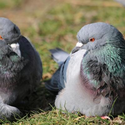 Pigeon biset (Columba livia)