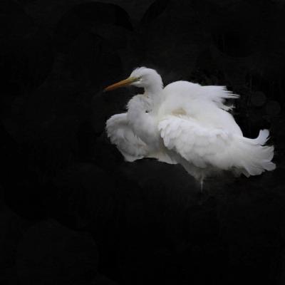 Grande aigrette ( Egretta alba)