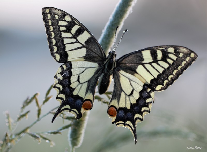 Machaon (Papilio machaon )