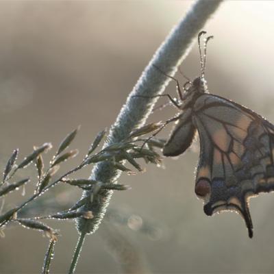 IMG_7092 Machaon (Papilionidae)
