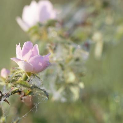 Eglantines dans la rosée