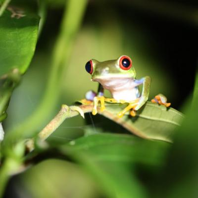 Grenouille (Costa Rica)
