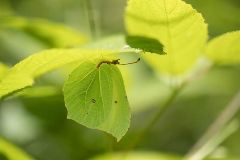 Citron ( Ganepteryx rhamni)