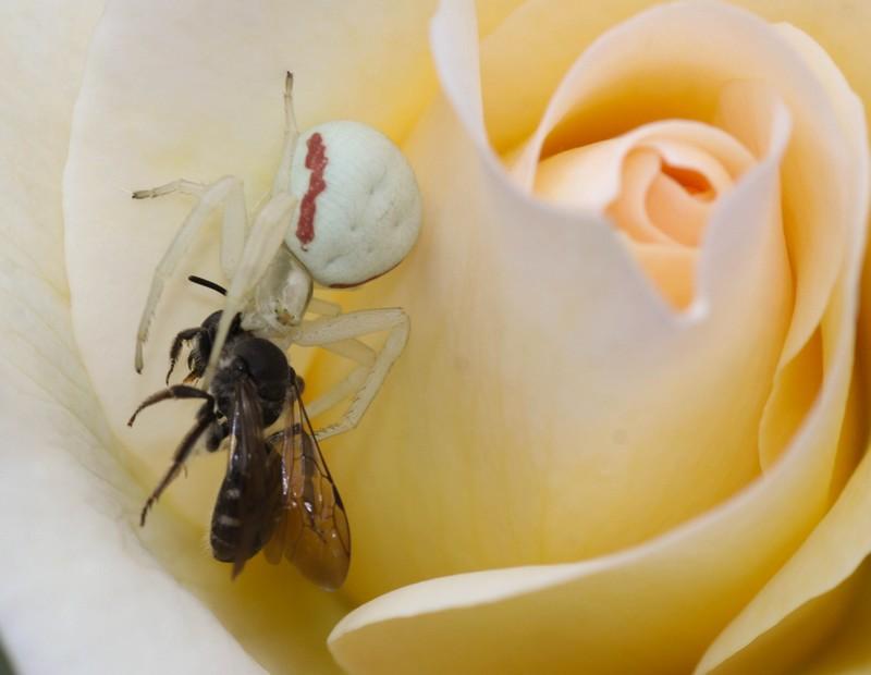 Araignée crabe (Archnidaes)