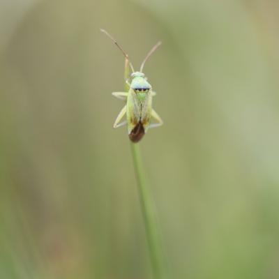 Punaise  (Closterotomus norvegicus)