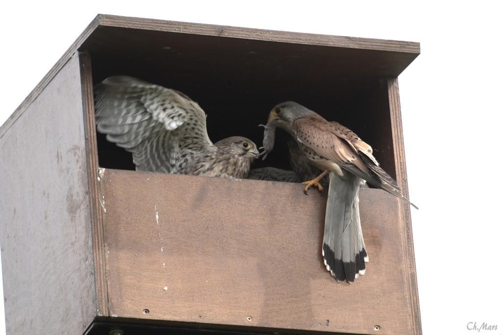 Faucons crécerelles (Falco tinnunculus)