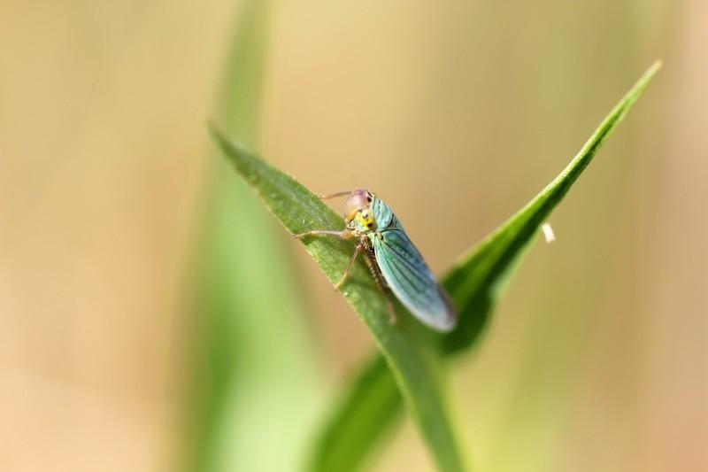Cicadelle (Cicadellidae)