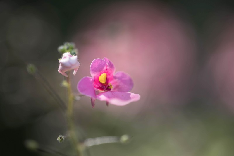 Balsamine (Impatiens glandulifera royle)