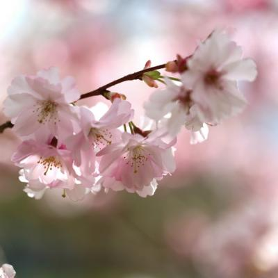 Cerisier du Japon (Prunus serrulata)
