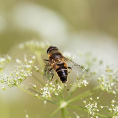 Eristale gluante (Syrphidae)