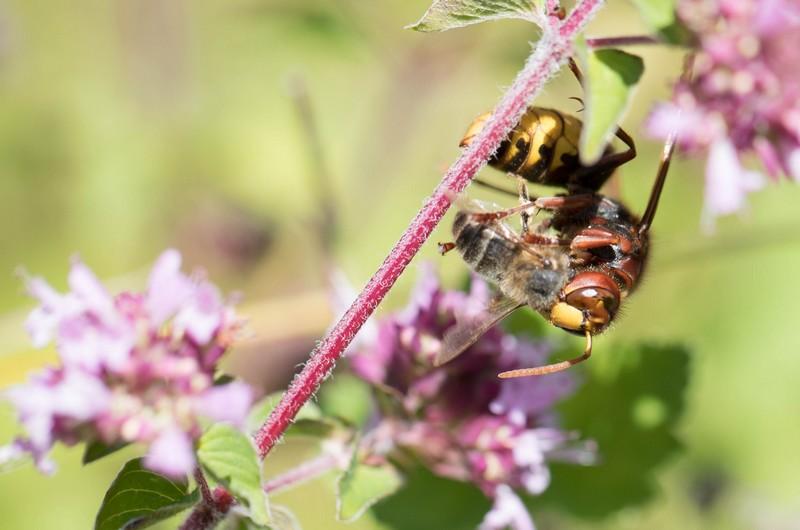 Frelon Asiatique sur une abeille ( Vespiformes)