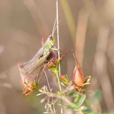 Criquet vert commun (Acrididae)