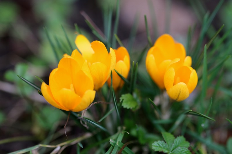 Crocus à fleurs jaunes (Crocus chrysanthus)