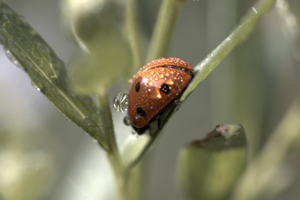 Coccinelle  à 7 points (Coccinella septempunctata)