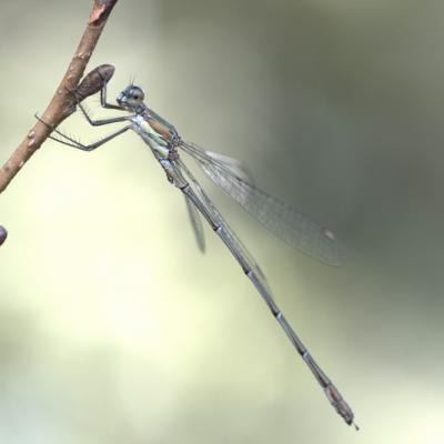 Caloptéryx splendens
