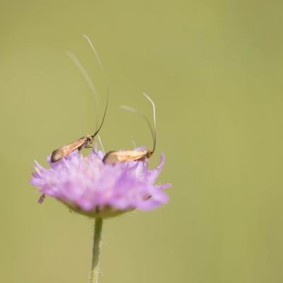 Nemophora metallica (Adelidae)