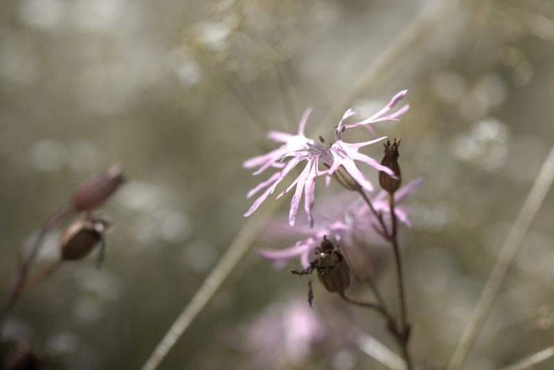 Lychnide fleur de coucou (Silène flos-cuculi )