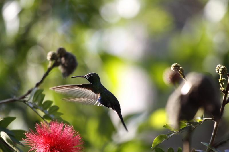Colibri Cuba