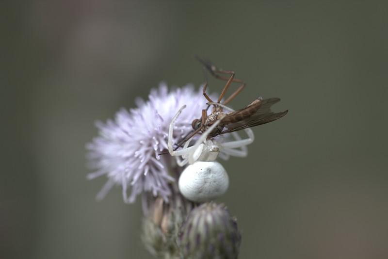 Araignée crabe (musumena vatia)