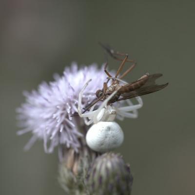 _MG_0560.CR2  Araignée crabe (musumena vatia)