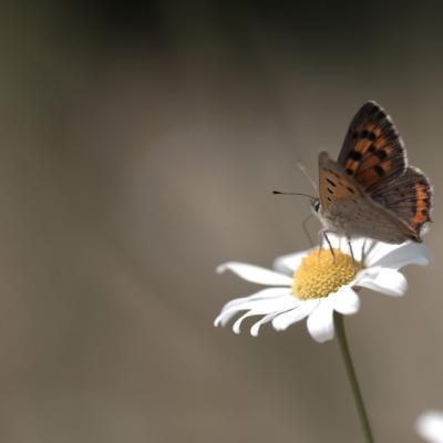 Damier athalie (Les Nymphalidae)