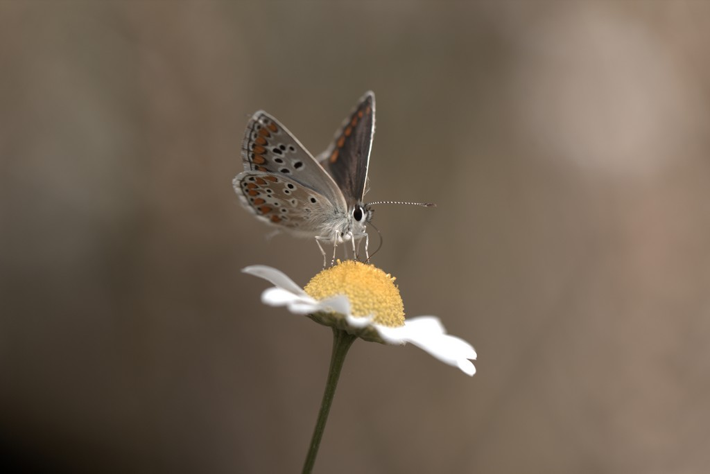 Argus bleu où Icare (lysandra bellargus)