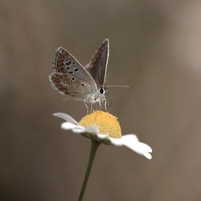 Argus bleu où Icare (Lycaenidae)