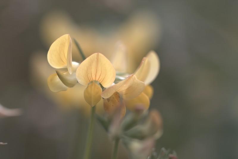 Lotier commun (Lotus corniculatus)