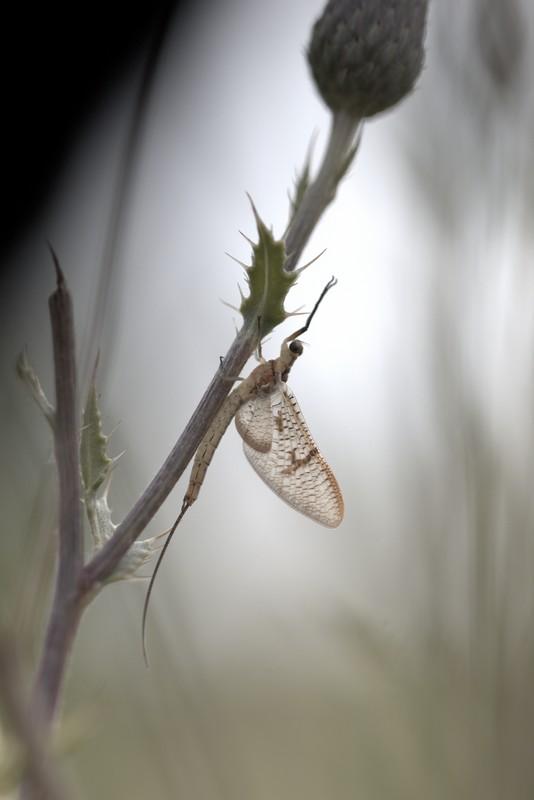 Ephémère (Ephemeroptera)
