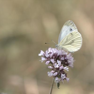 Piéride (piéridae)