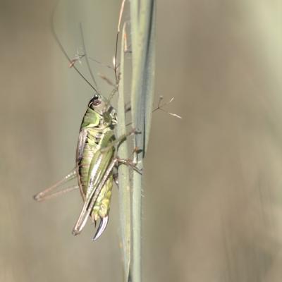 _MG_1155.CR2 Grande sauterelle verte (Tettigonia viridissima)