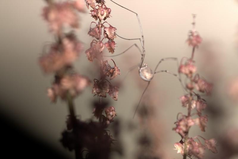 Araignée Faucheuse (Opiliones)
