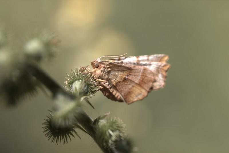 Ennomos Illunaire (Geometridae)