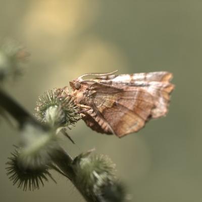 _MG_1416.CR2  Ennomos Illunaire (Geometridae)