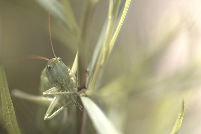 Grande sauterelle verte (Tettigonia viridissima)