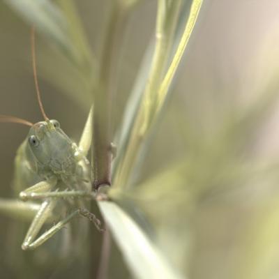 _MG_2533.CR2 Grande sauterelle verte Tettigonia